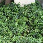 11-grabgestaltung-frankreich-grabbepflanzung-bodendecker